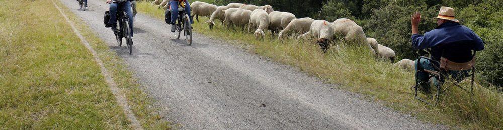 Schafe an der Lippe