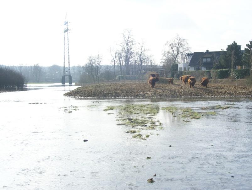 """Hochlandrinder """"flüchten"""" vor Lippe-Hochwasser auf winzige Insel"""