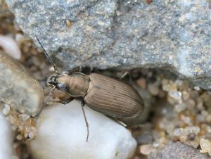 """Der """"Gestreifte Ahlenläufer"""", eine seltene Käferart, lebt in der Lippeaue Wesel. Foto: Jacobs"""