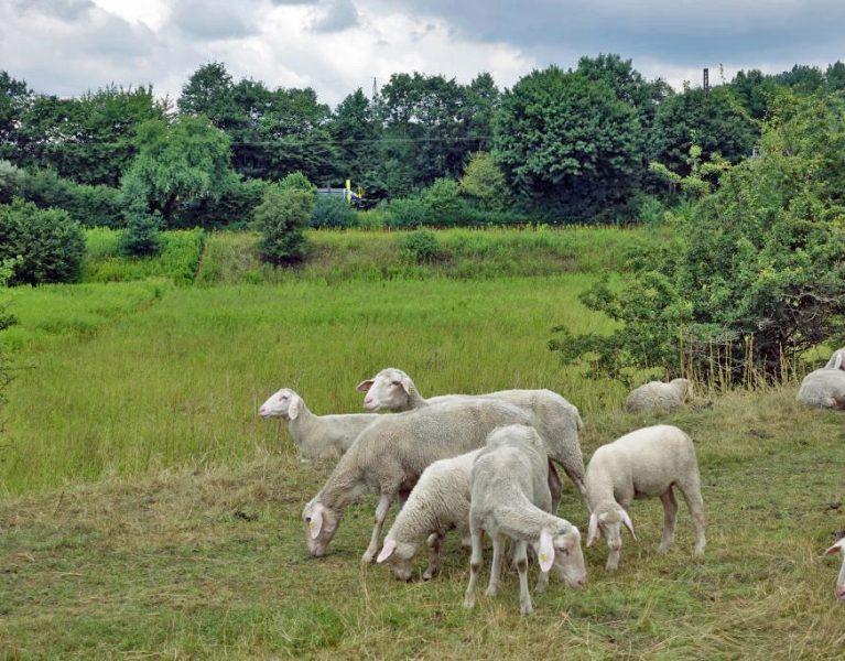 Das Schaf als Rasenmäher