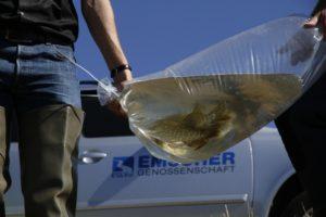 Gezielter Fischbesatz im Phoenix See. Foto: Markus Greulich/EG