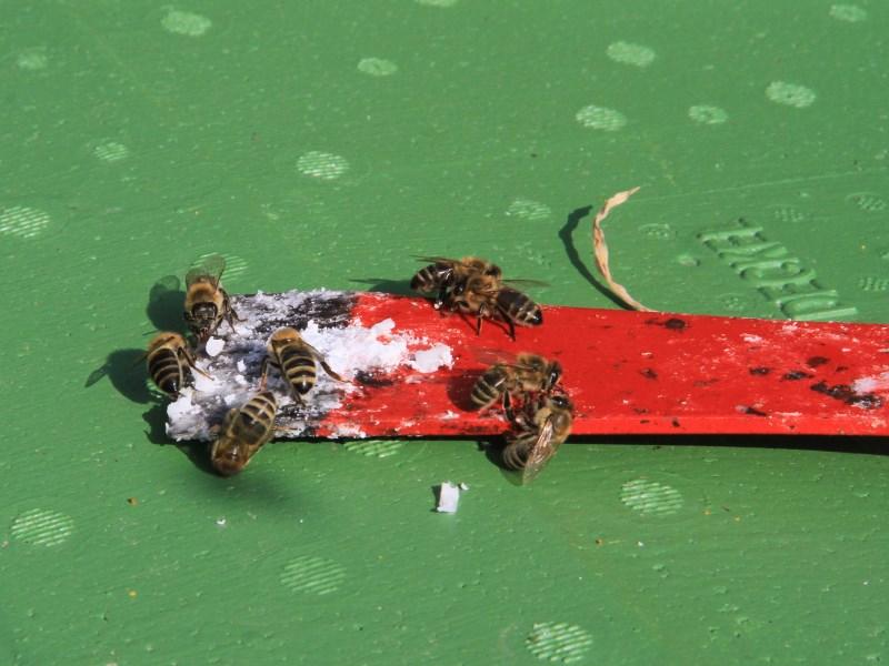 Von Pollensammlern und Drohnenmütterchen