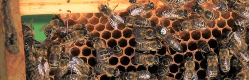 Bienen auf dem Emscherquellhof 2018