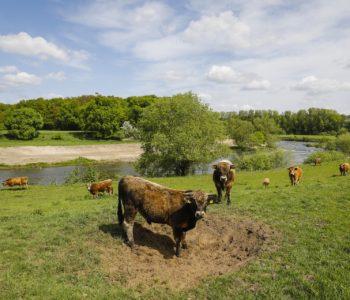 Natur- und tierfreundliche Lippe: Diese Rinder fühlen sich bereits wohl an unserem Fluss. Fotos: Rupert Oberhäuser/EGLV