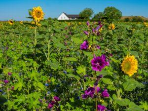 Die blühenden Wild- und Kulturpflanzen vor dem Hof Emschermündung sind eine wichtige Nahrungsquelle für Bienen und andere Insekten. Foto: Klaus Baumers/EGLV