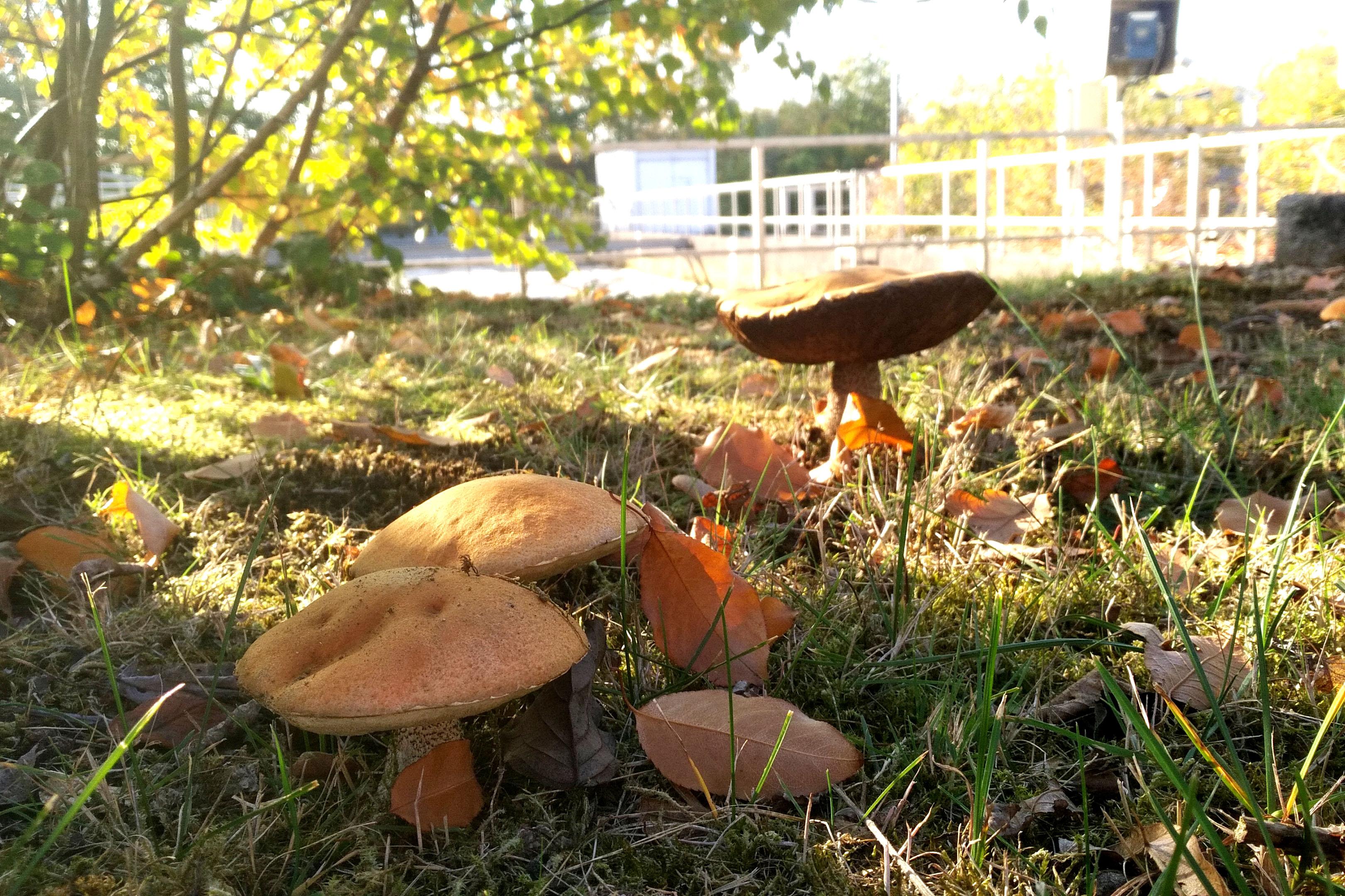 Pilze wachsen im Schatten des Mispelstrauchs. Ob sie für die Pilzpfanne geeignet sind, muss besser ein Experte beurteilen. Foto: Anne-Kathrin Lappe / EGLV
