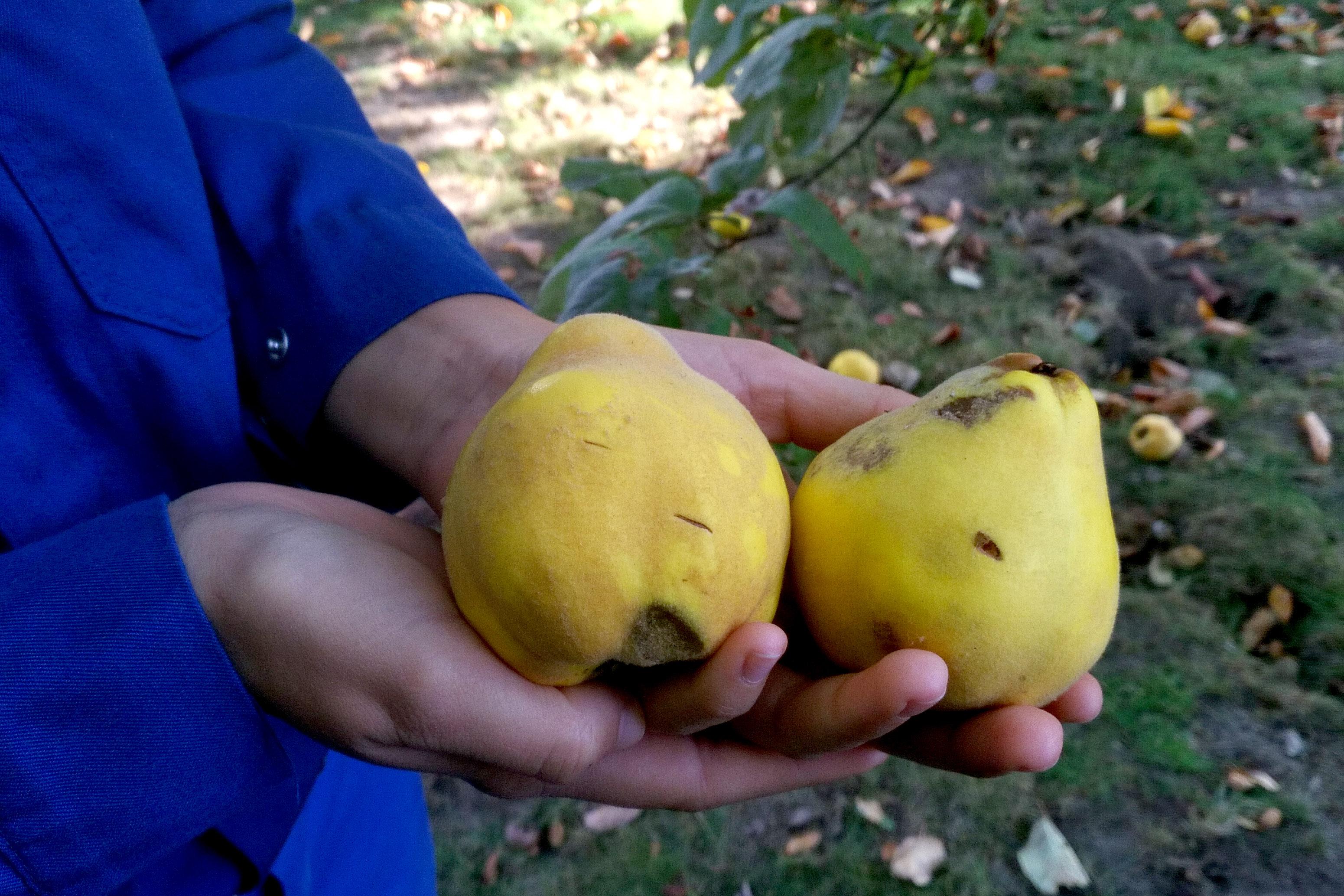 Quitten - Früchte, die man nicht in jedem Supermarkt findet. Foto: Anne-Kathrin Lappe / EGLV