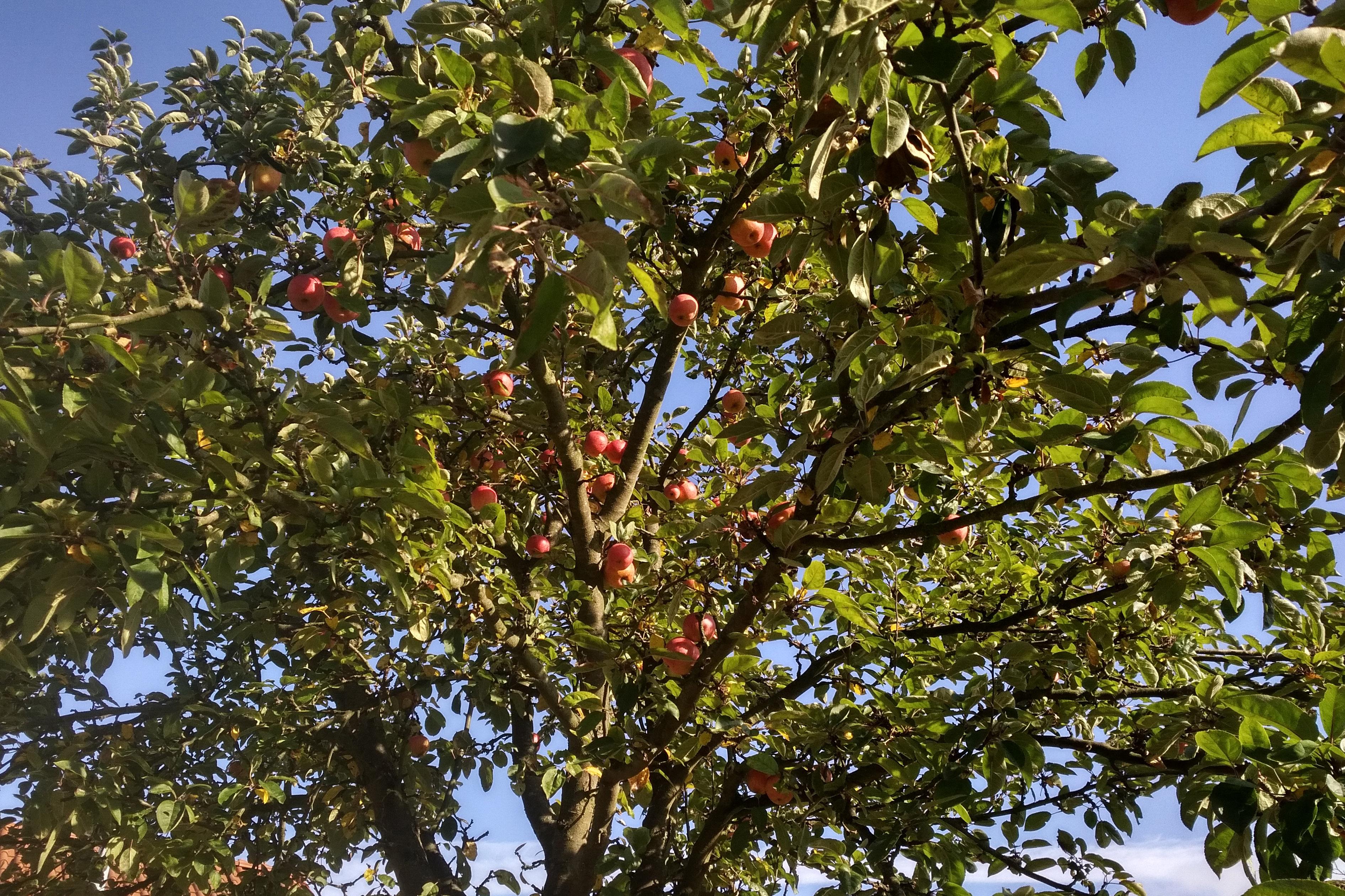 Einer der Apfelbäume auf der Kläranlage Westerholt. Sieht schön aus, ist ökologisch wertvoll und die Äpfel schmecken. :-) Foto: Anne-Kathrin Lappe / EGLV