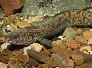 Eine ausgewachsene Quappe – in der Lippe gibt es von der Art nur noch kleine Bestände, durch Wiederansiedlung breitet sie sich wieder aus. Foto: Bernhard Stemmer