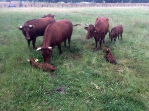 """Die Rinderrasse """"Rotes Höhenvieh"""" wird bald die neuen Flächen bewohnen. Foto: Straßen.NRW"""